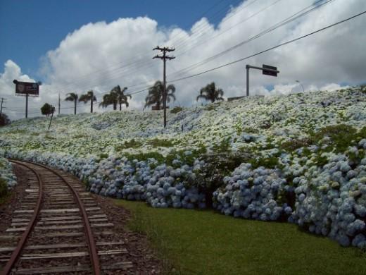 Hortências na Ferrovia
